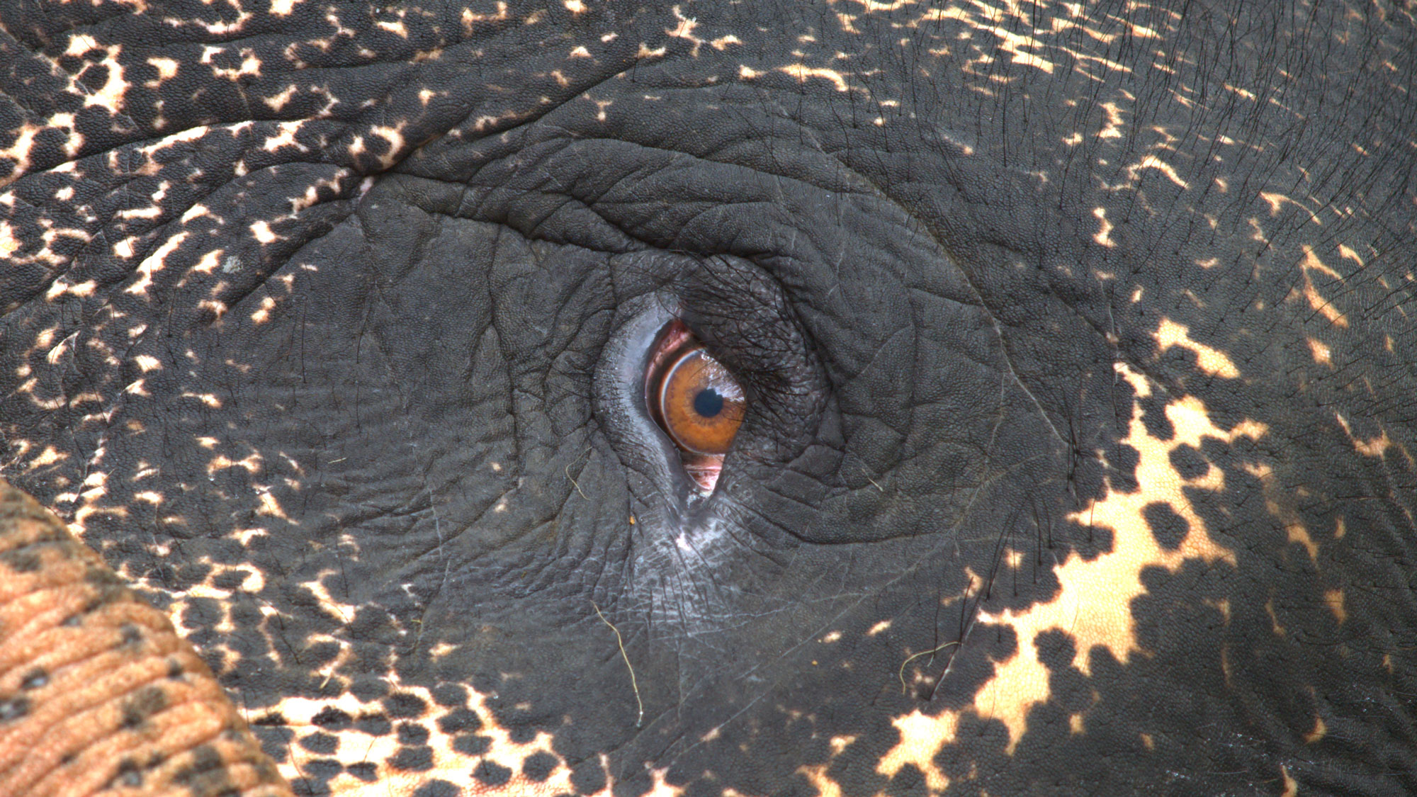 an elephant eye