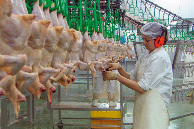 chickens in a processing plant