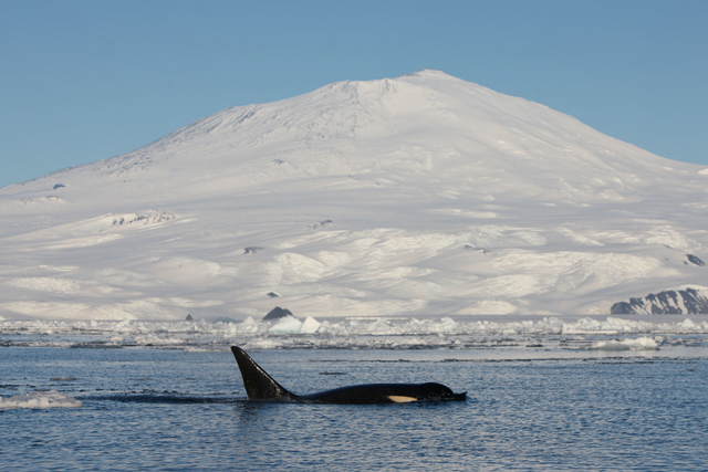 an orka cruising in front of a snow-covered mountain in the north pacific.